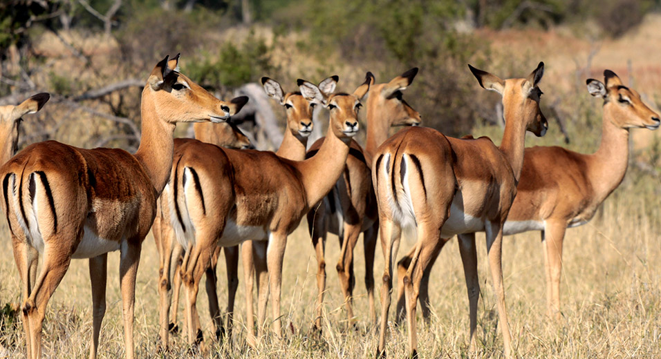 botswana/moremi_impala_breeding_females