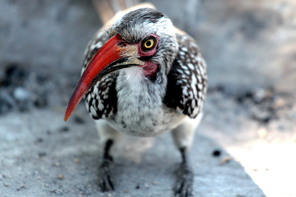 botswana/moremi_red_hornbill_currious
