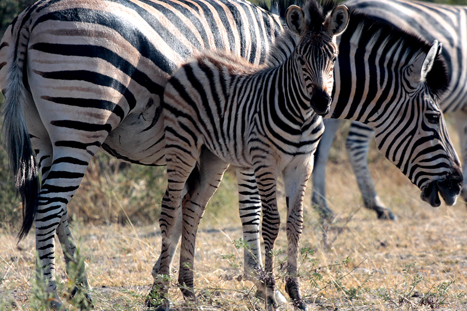 botswana/moremi_zebra_foal_parent_eating