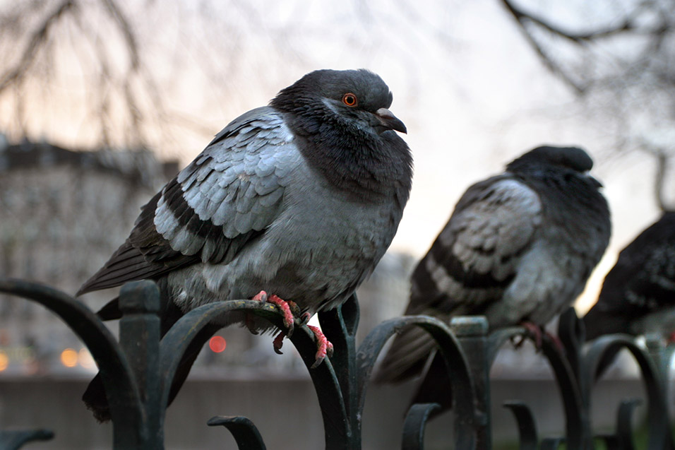 france/paris_pigeons_3