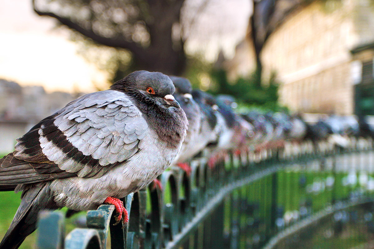 france/paris_pigeons_4