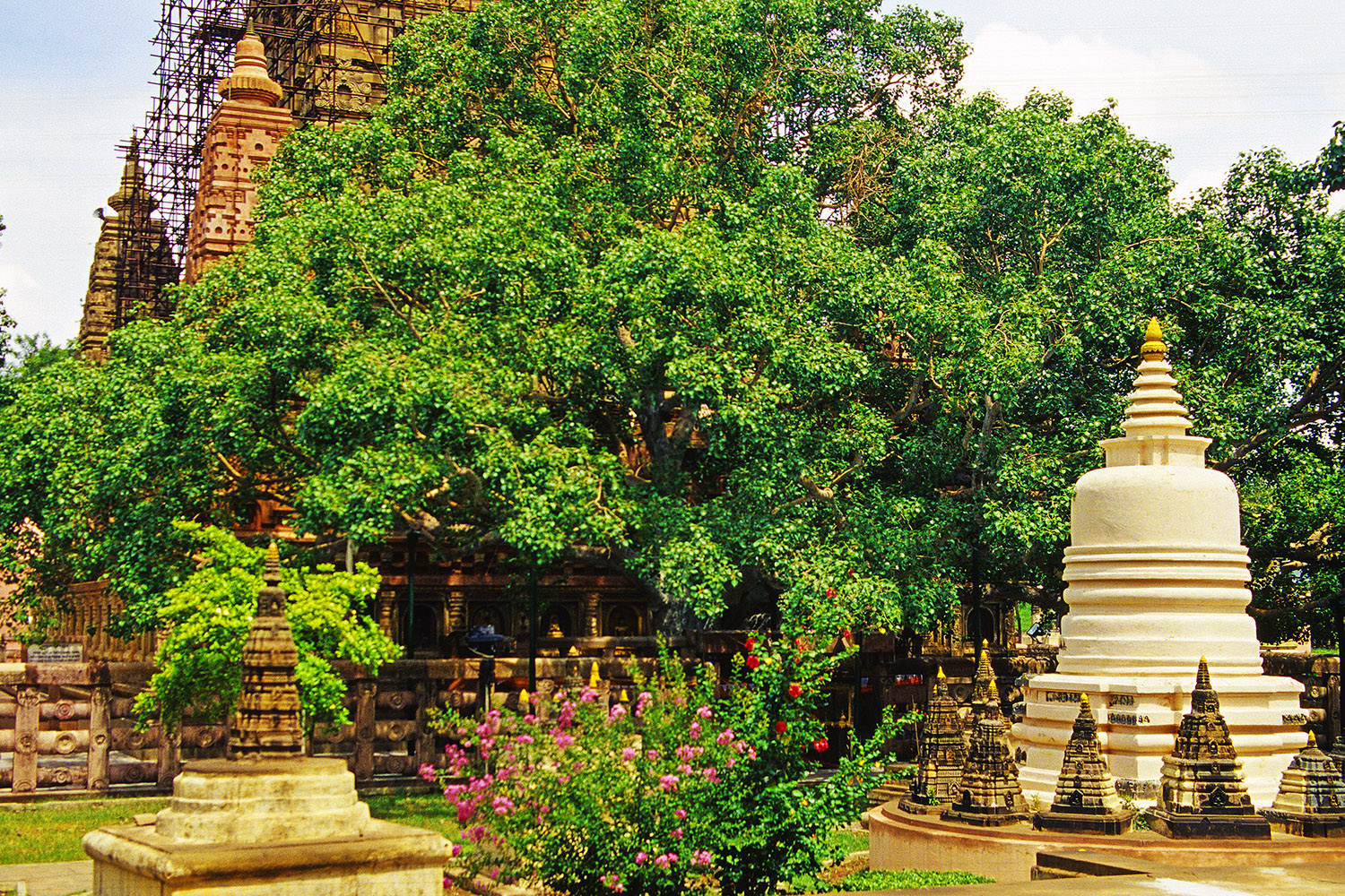 india/bodhgaya_bodhi_tree