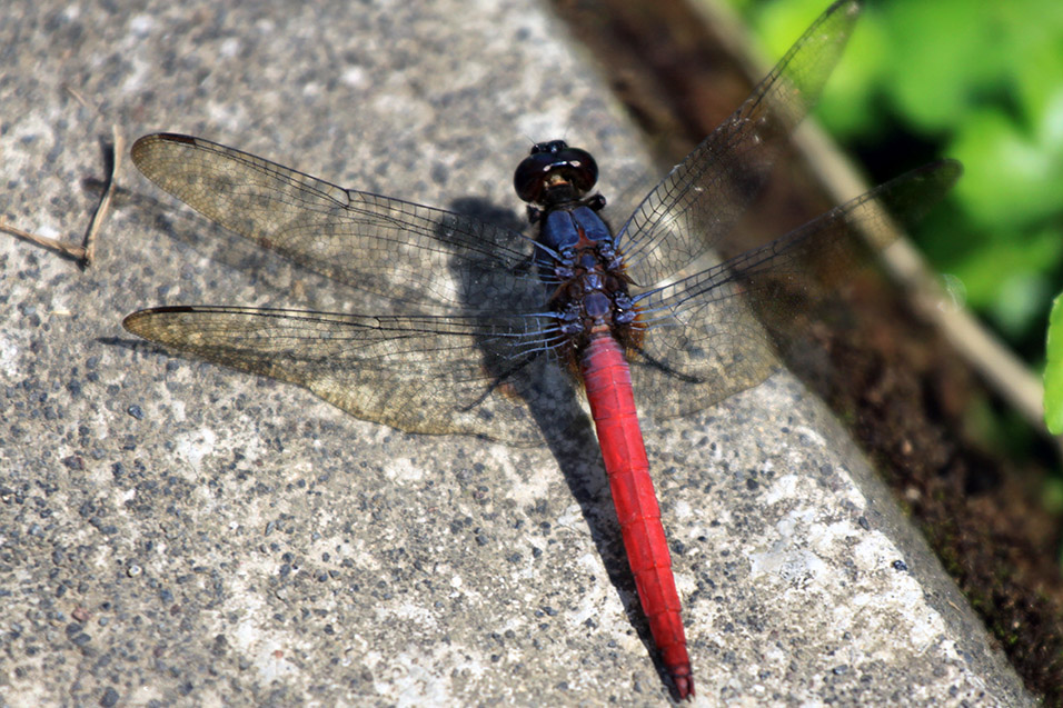 indonesia/bali_dragonfly