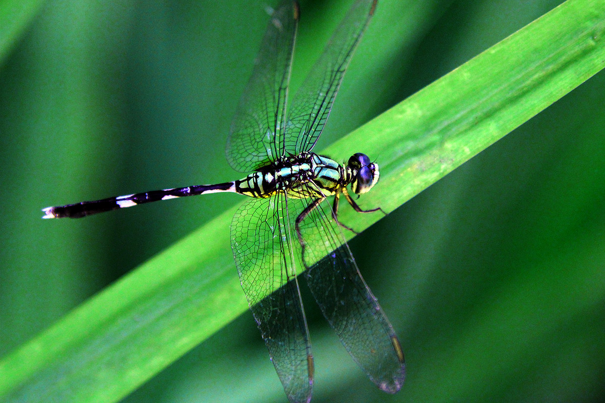 indonesia/ubud_dragonfly_2