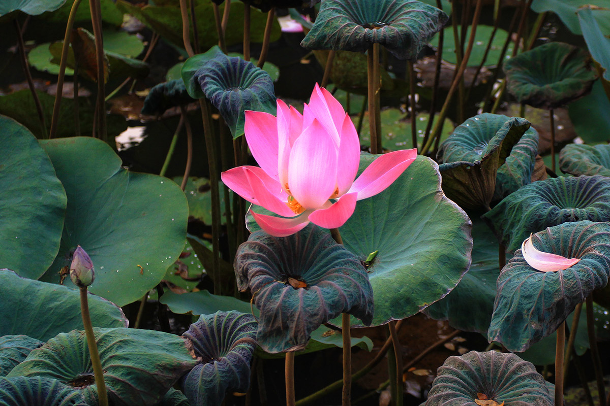 indonesia/ubud_lotus_flower