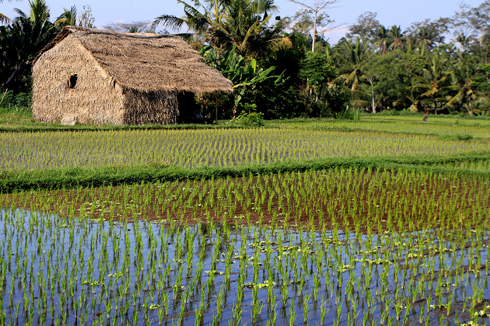 indonesia/ubud_rice_paddy_straw_house
