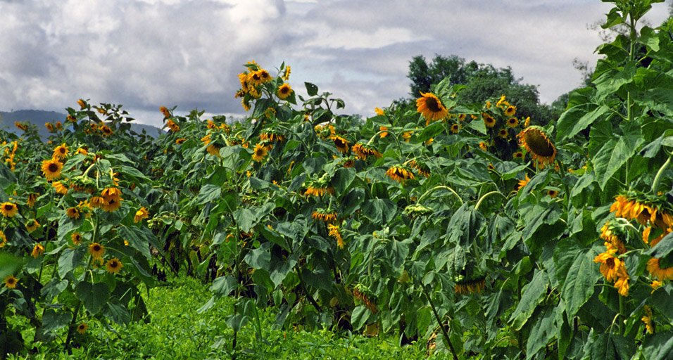 myanmar/inle_sunflower_field