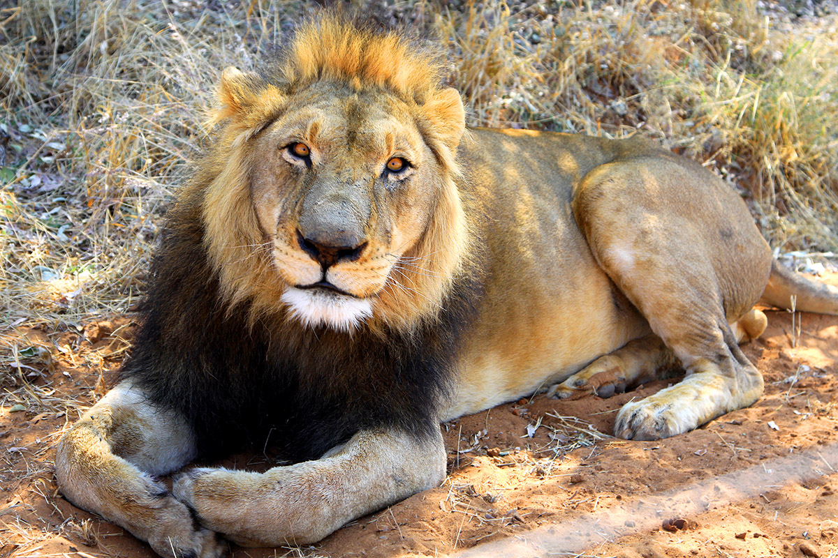 namibia/2015/gobabis_full_lion