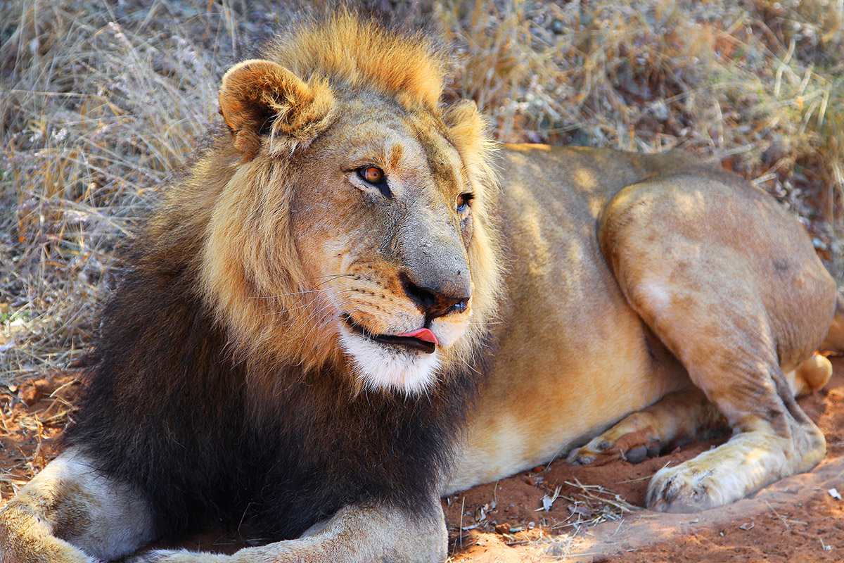 namibia/2015/gobabis_harnas_lion_close