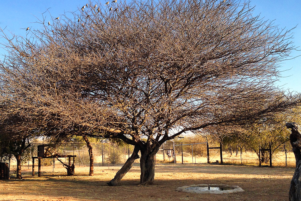 namibia/2015/gobabis_harnas_tree_branches