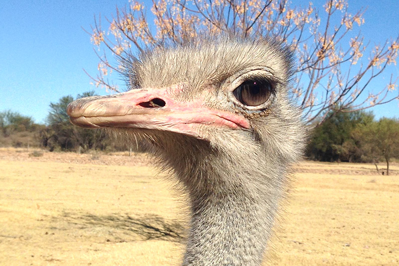 namibia/2015/gobabis_ostrich_male_head