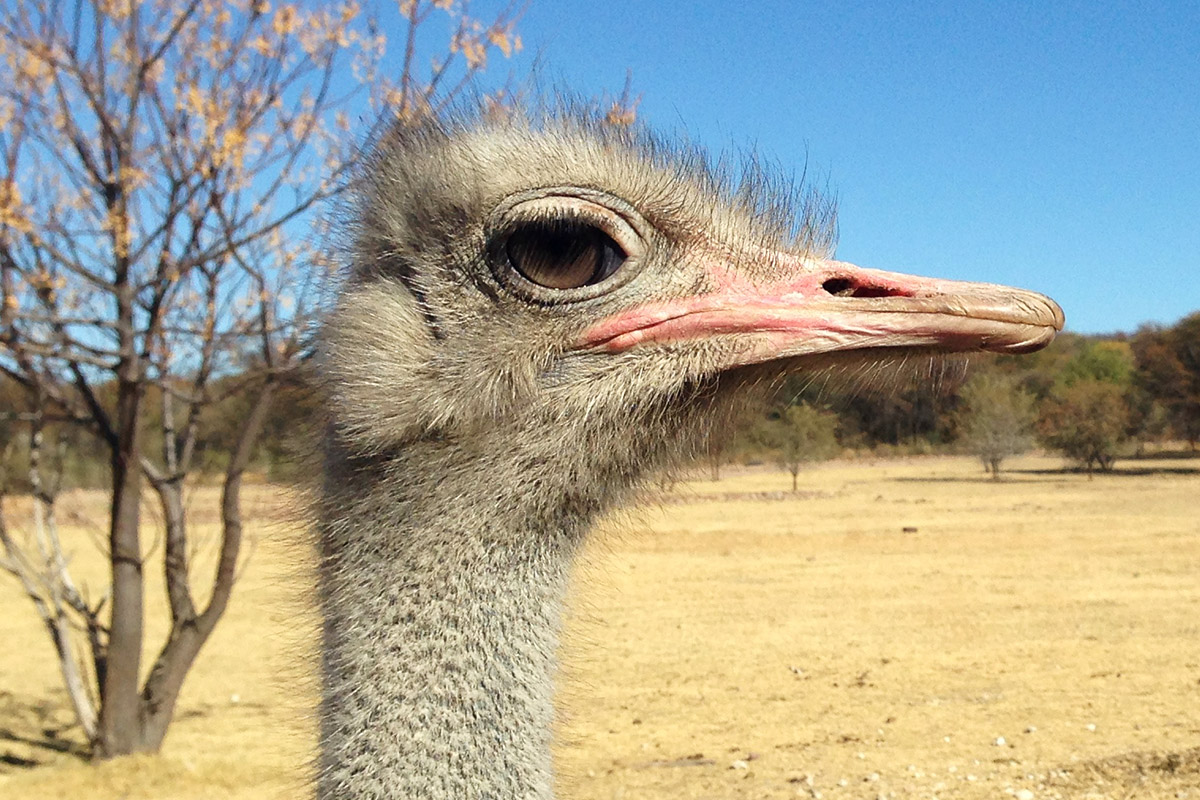 namibia/2015/gobabis_ostrich_male_head_profile