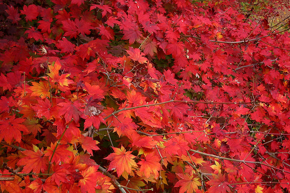 south_korea/red_leaves