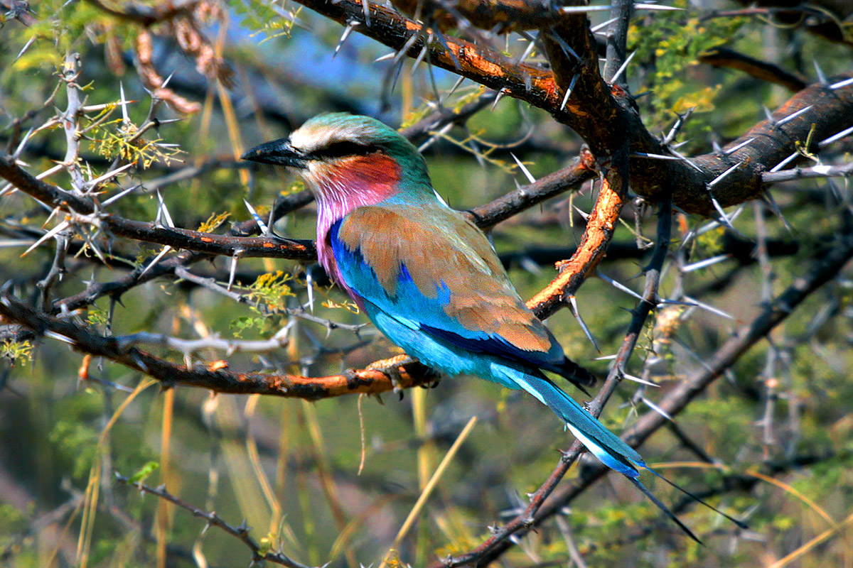 botswana/moremi_lilac_breasted_roller