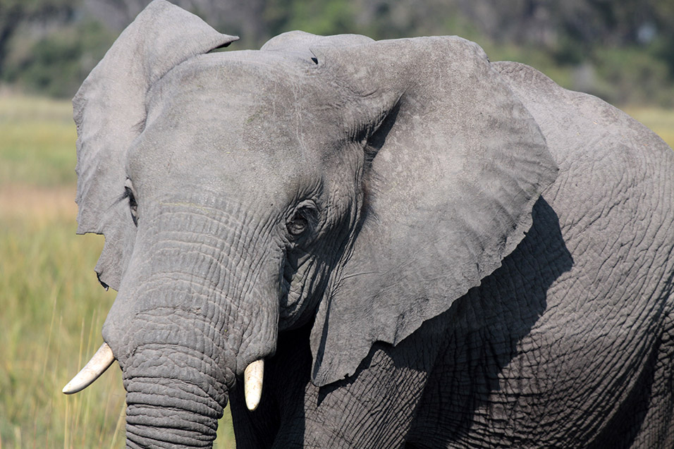 botswana/okavango_tubu_elephant_close