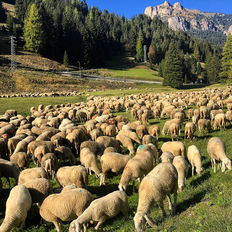 italy/2017/dolomites_sheep