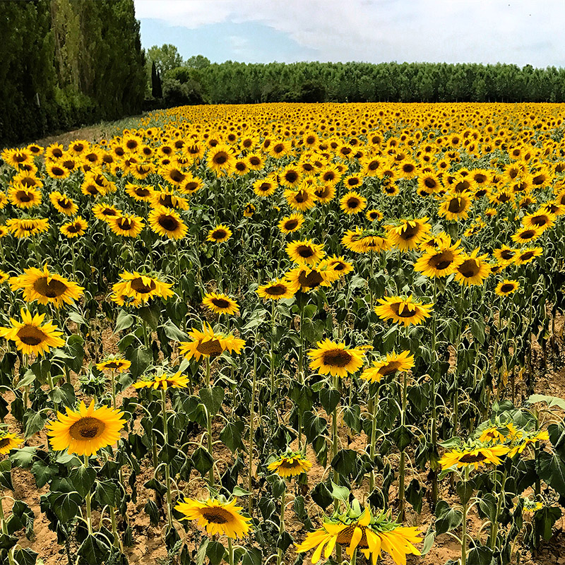 italy/2017/tuscany_sunflowers