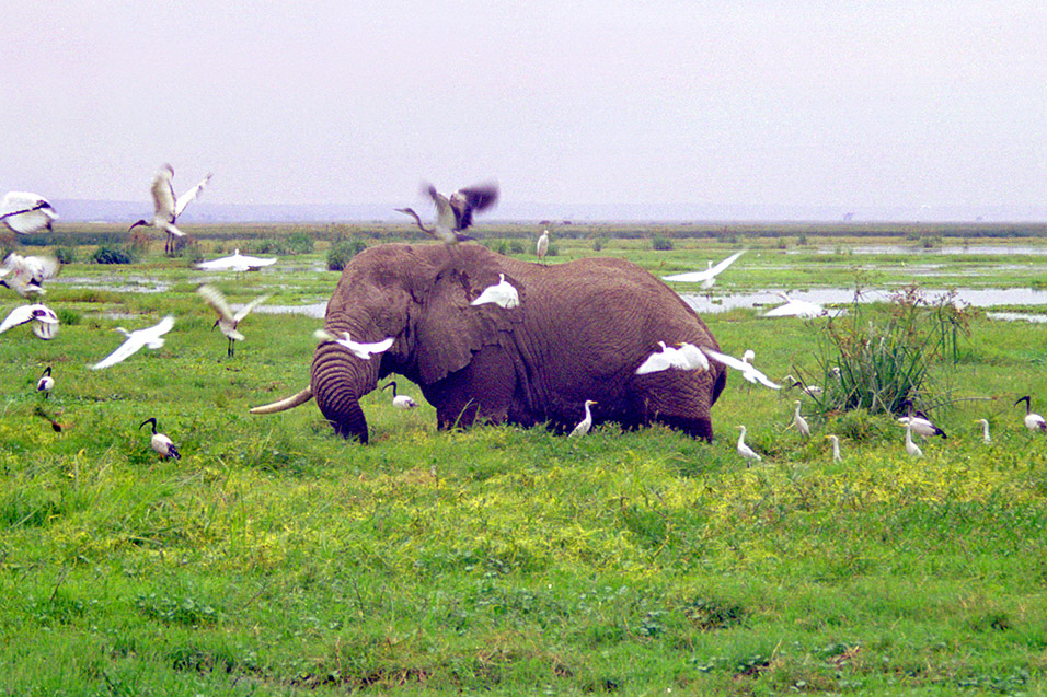 kenya/amboseli_elephants_birds