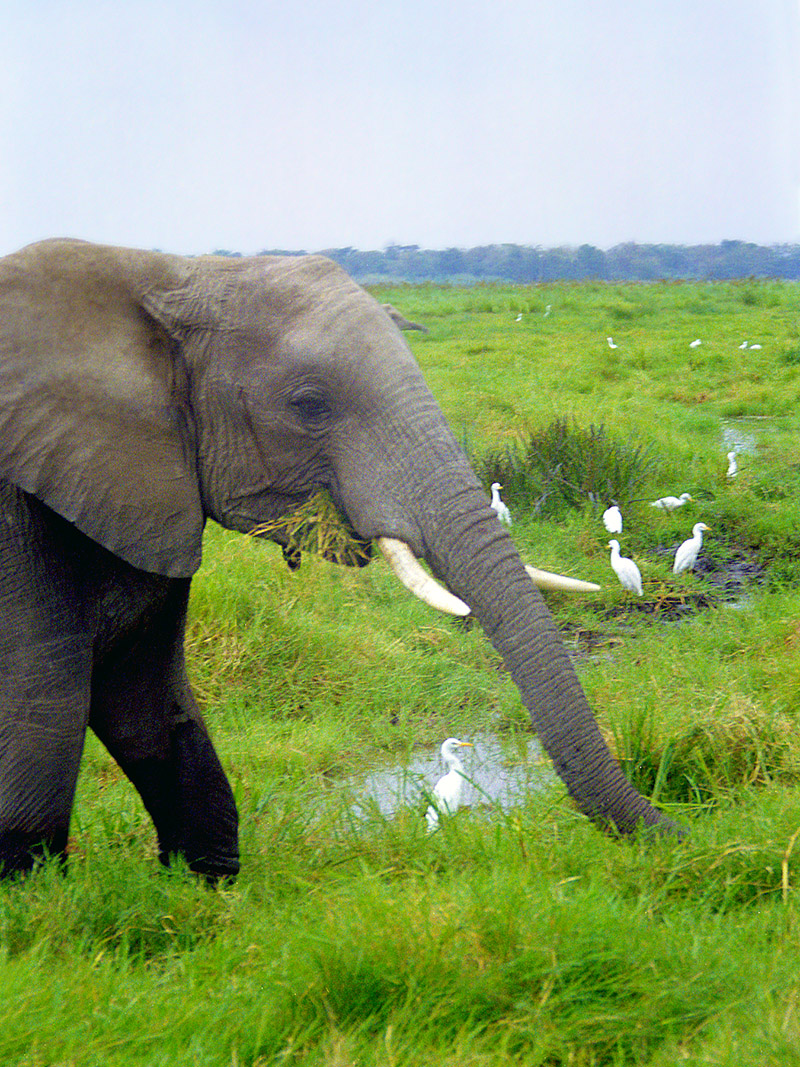 kenya/amboseli_elephants_birds_close_up