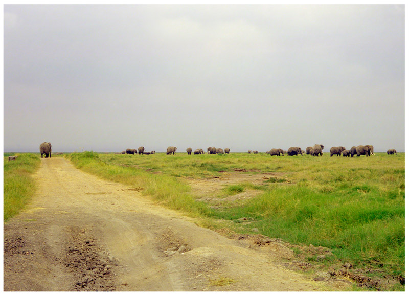 kenya/amboseli_elephants_on_road