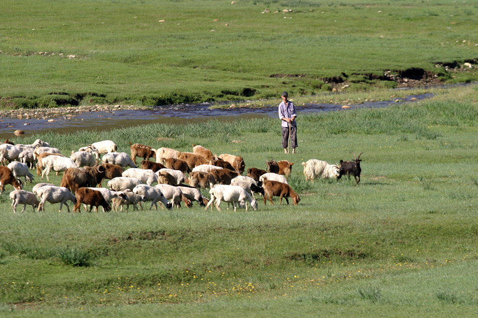 mongolia/train_man_flock