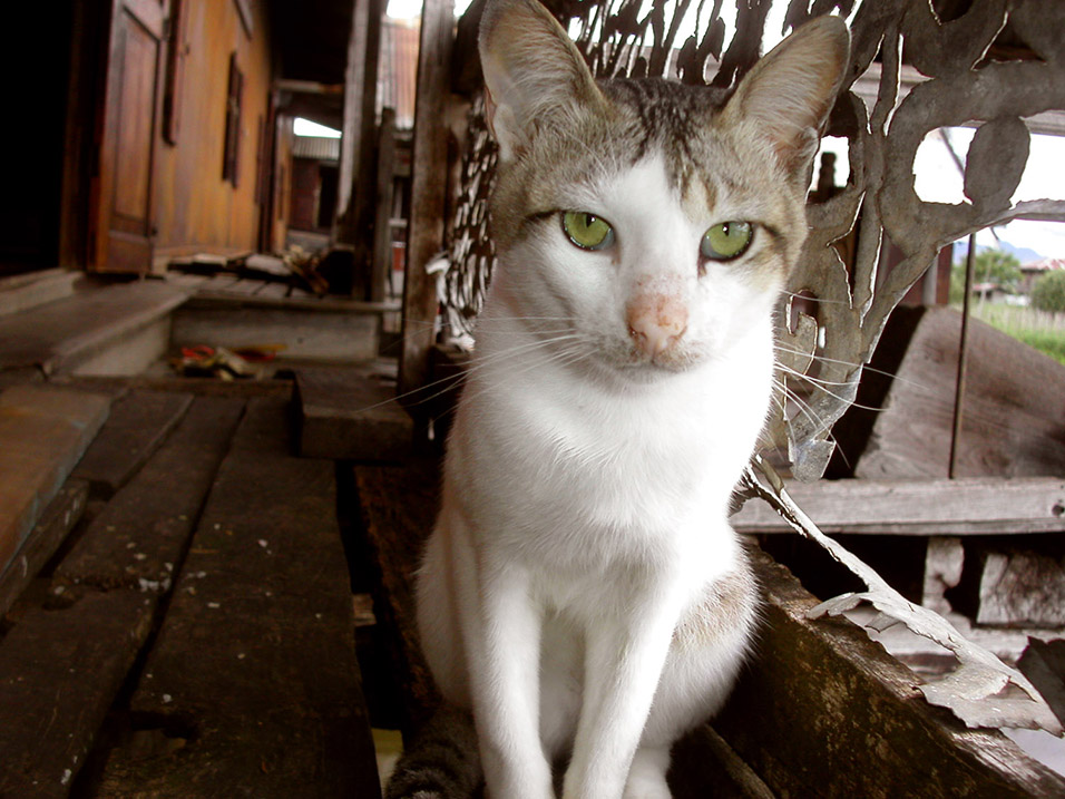 myanmar/inle_lake_brian_cat