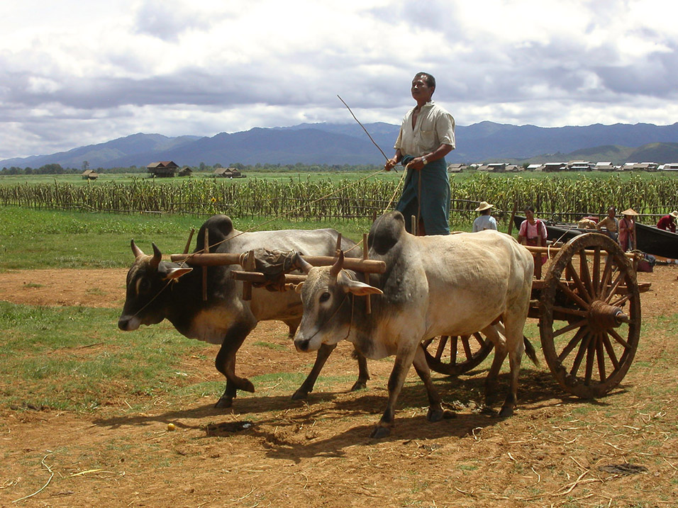 myanmar/inle_lake_man_bullock_cart