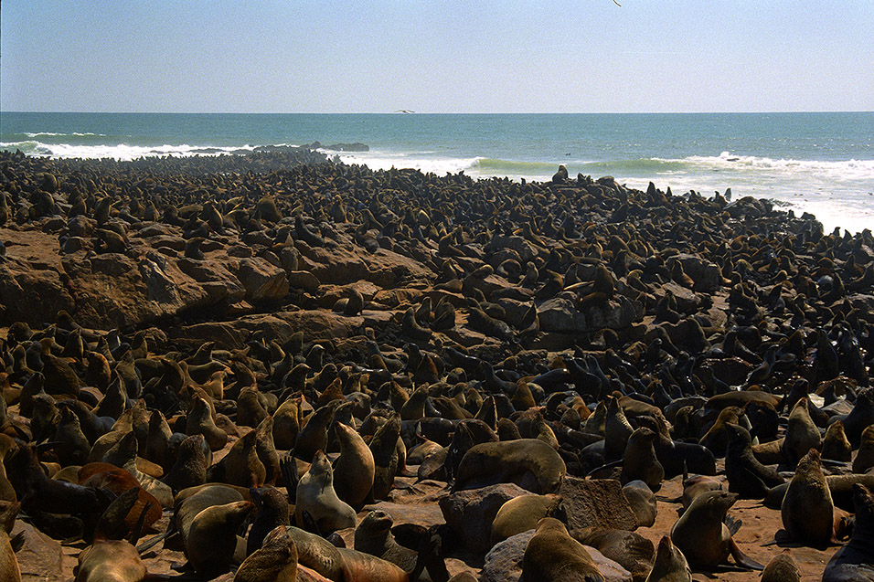 namibia/cape_cross_seals_millions