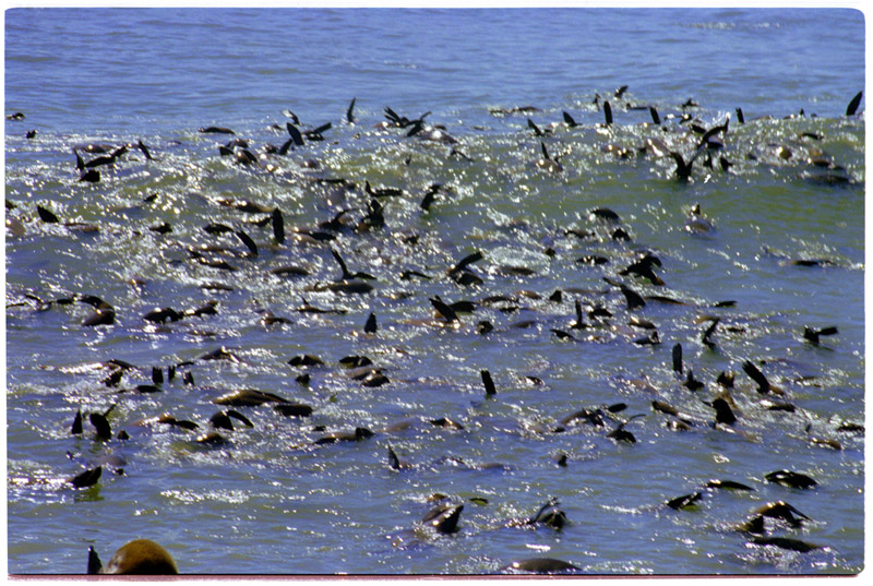 namibia/cape_cross_seals_water