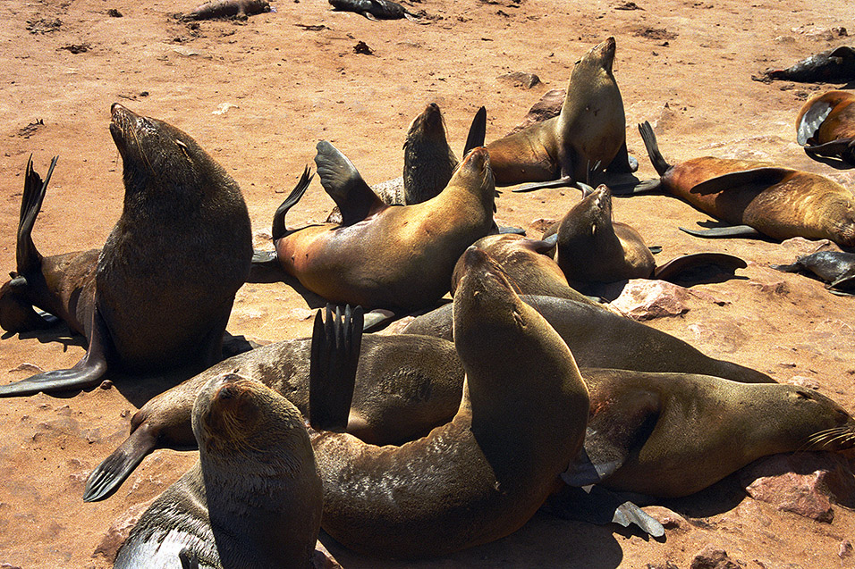 namibia/nam_seals_looking_up