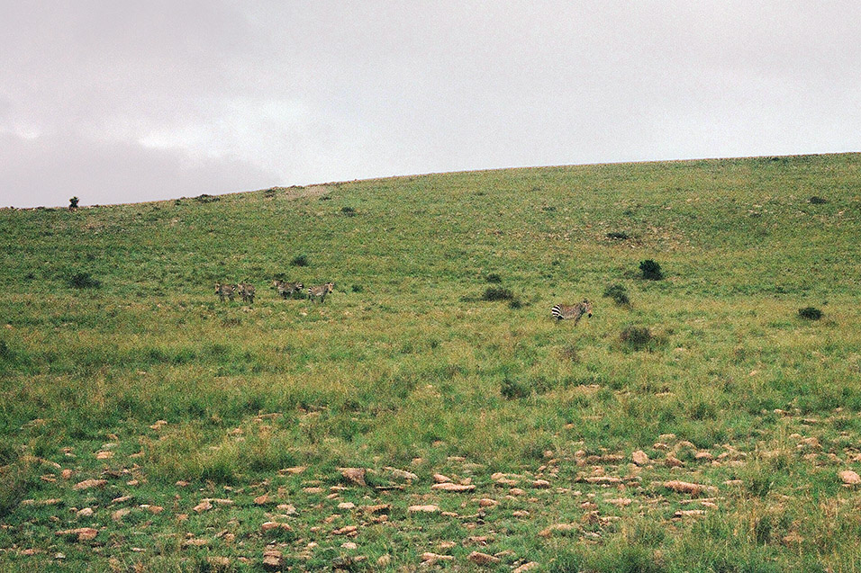 south_africa/eastern_cape_mountain_zebra
