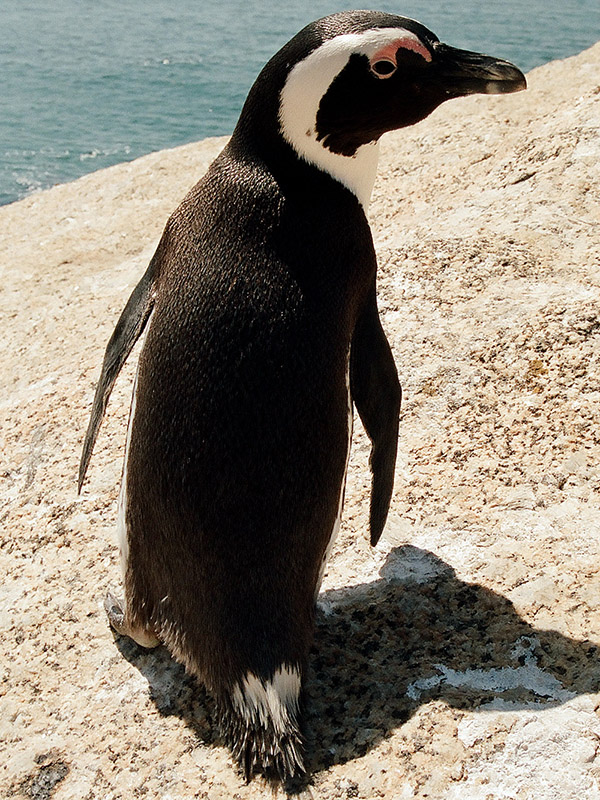 south_africa/penguin_vertical_5