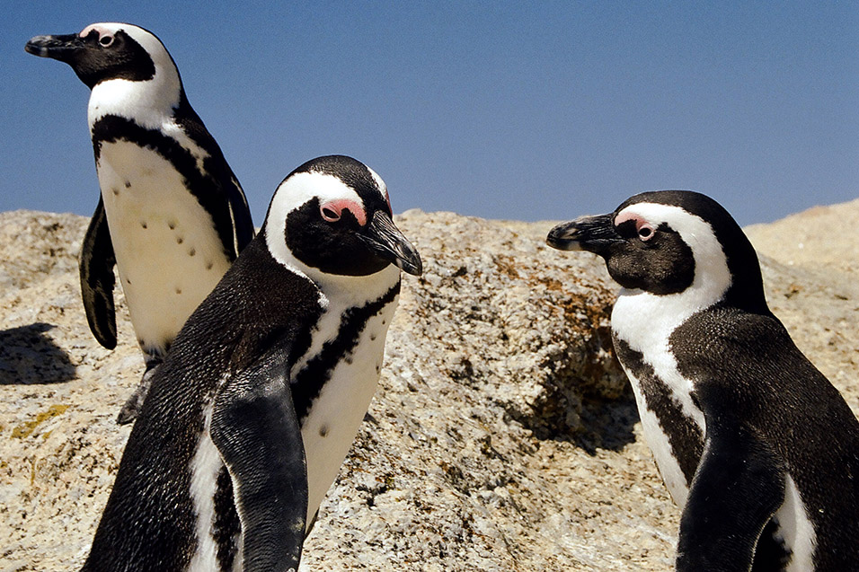 south_africa/penguins