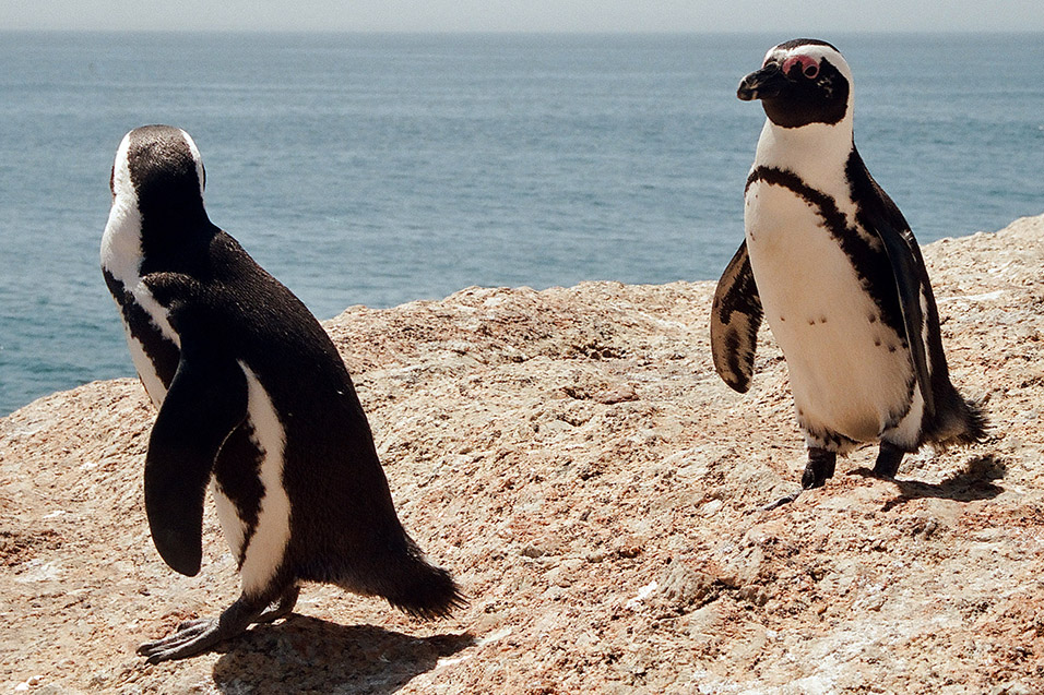 south_africa/penguins_two_5
