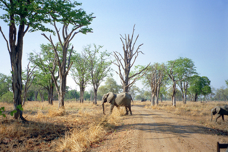zambia/south_luangwa_elephant_crossing_road
