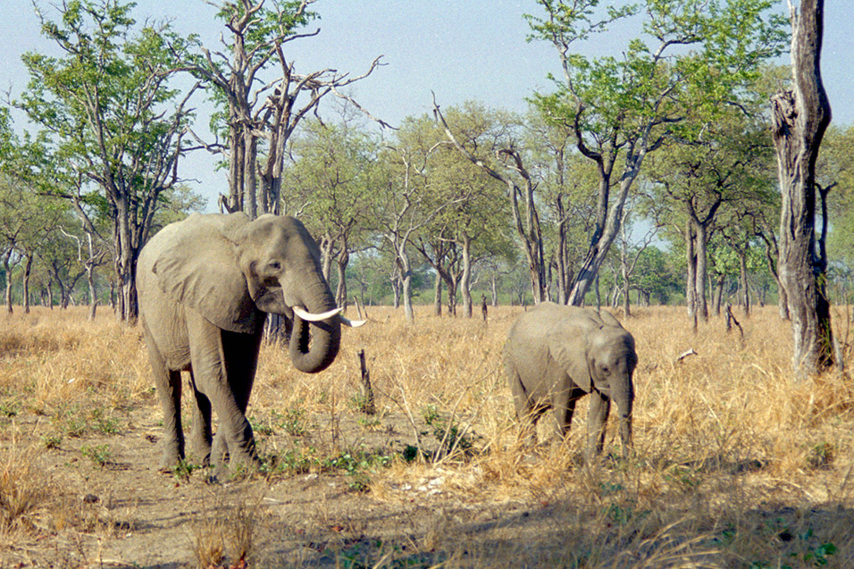 zambia/south_luangwa_elephant_mom_with_calf