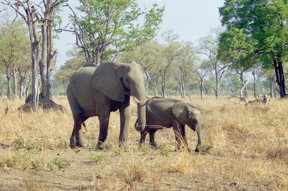 zambia/south_luangwa_elephant_mom_with_calf2